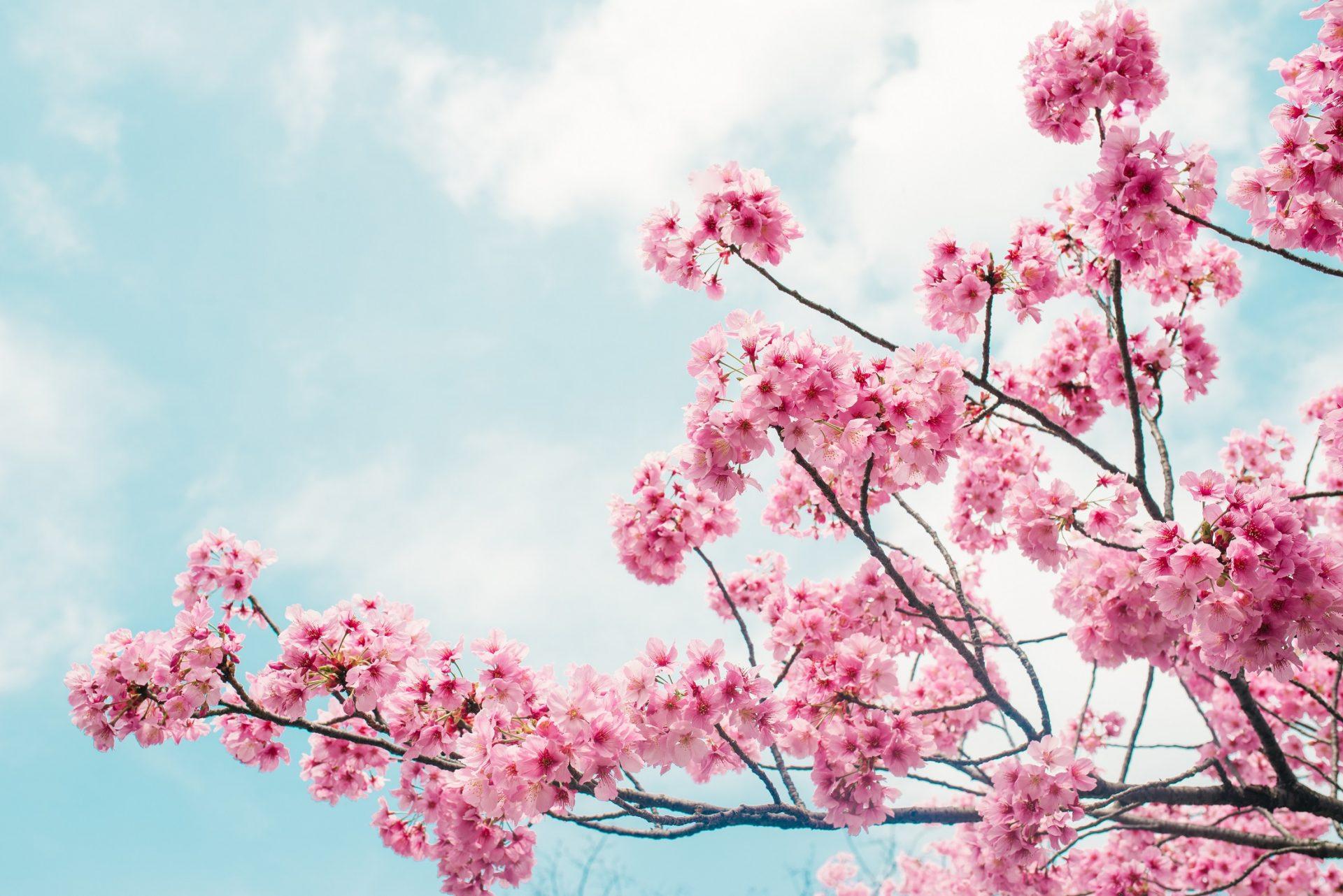 arbres à fleurs sakura