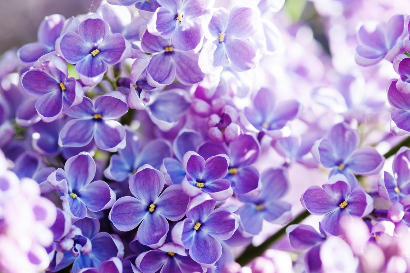 fleurs odorante lilas