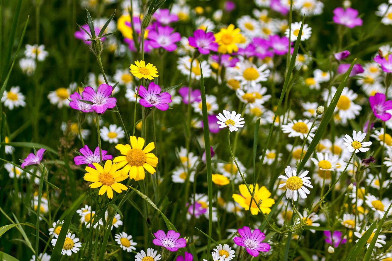 fleurs sauvages dans le jardin